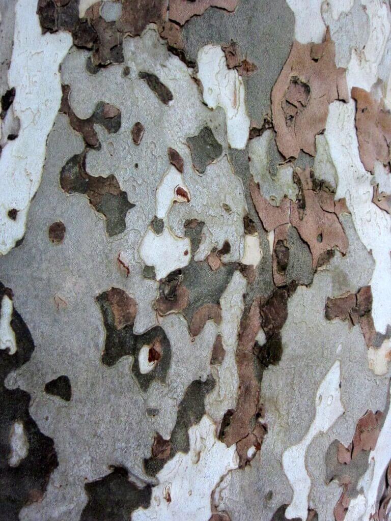 11-2 Sycamore bark closeup