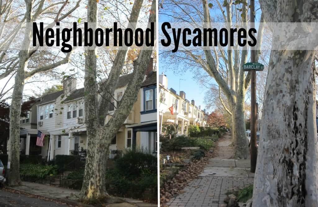 Neighborhood sycamore collage