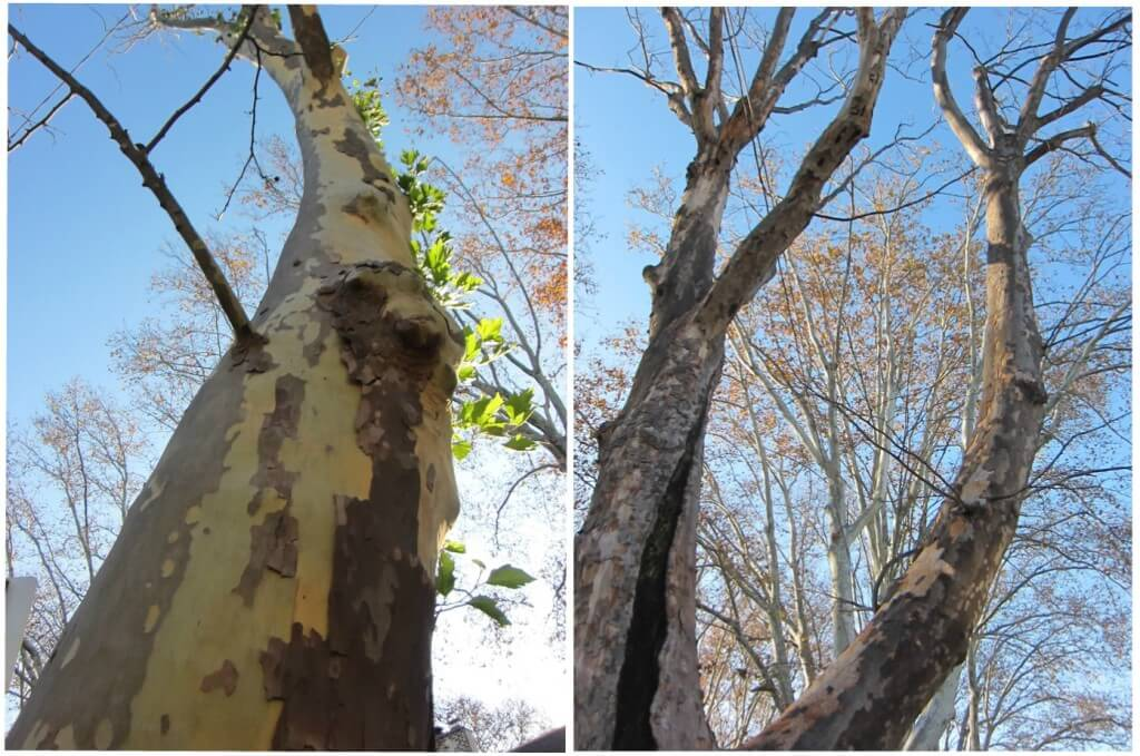 Neighborhood sycamore trunk collage